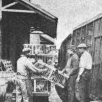 Loading Chickens Bound for Market